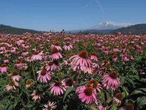 植化素神奇的力量-紫錐花