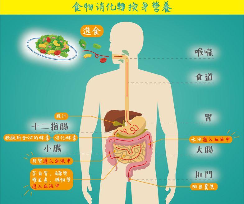 人體營養素消化吸收過程