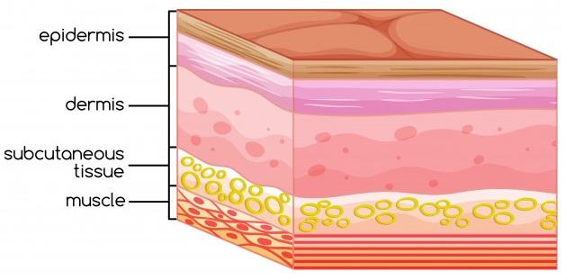 人體皮膚層